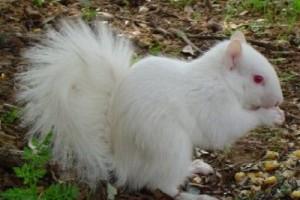 A fehér mókus
