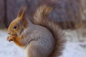 Az európai mókus, közönséges erdeimókus vagy vörös mókus (Sciurus vulgaris)