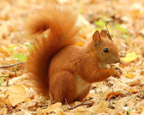 red-squirell
