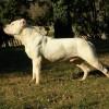 Kutyatartás : az argentin dog
