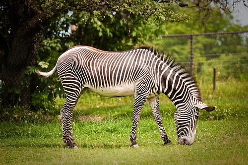 legeleszo-zebra