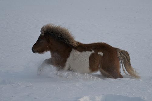 miniatűr ló