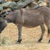 A legérdekesebb hibrid állatok
