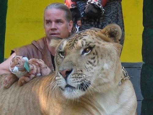 liger-hibrid-oroszlan