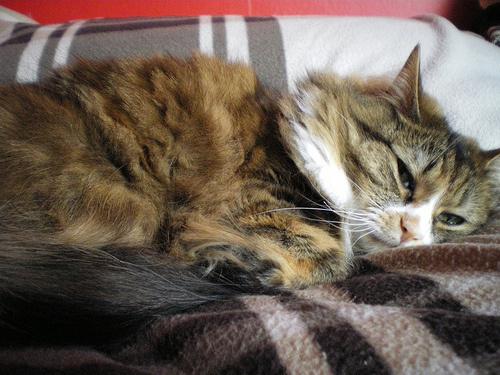 letargias-macska