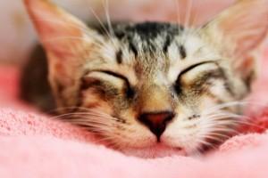 Vérszegénység macskáknál