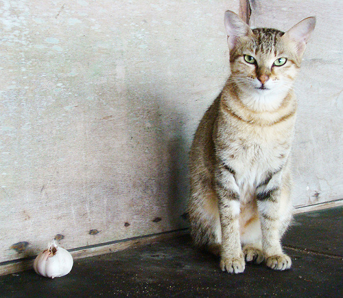 cica-es-fokhagyma