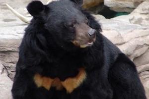 Örvös medve (Ursus thibetanus)