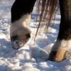 Hogyan ápoljuk a ló patáját?