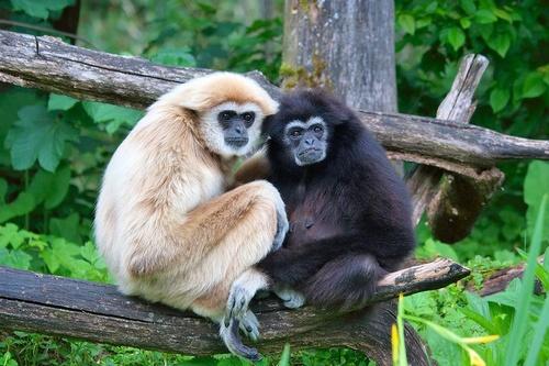 gibbon-majom