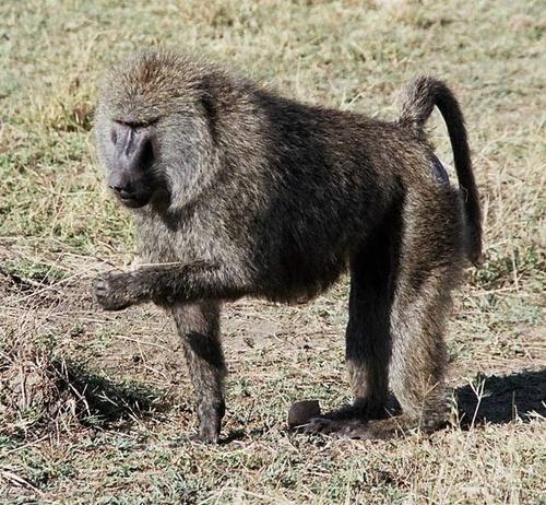 pavian-majom