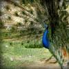 A páva (Pavo cristatus)