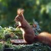Mivel táplálkoznak a mókusok? Webkamerával