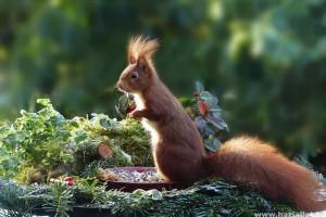Mit eszik a mókus? Lehet-e háziállatként tartani?