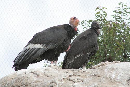 kaliforniai-kondor-keselyu