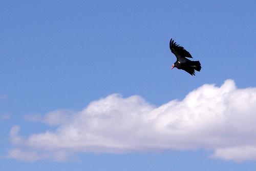 kaliforniai-kondor