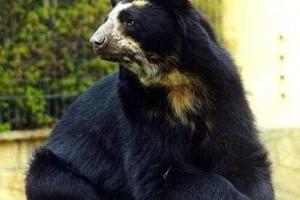 A pápaszemes medve (Tremarctos ornatus)