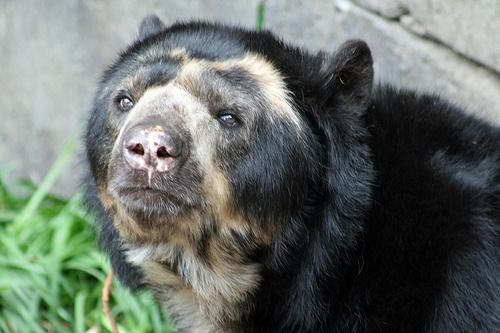 nagyemlosok-papaszemes-medve