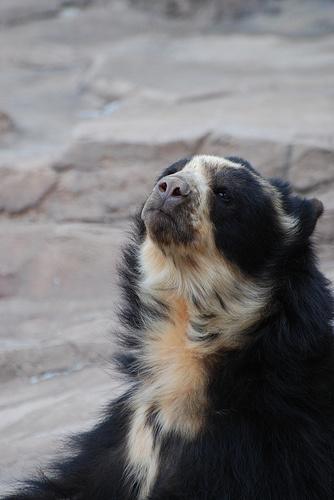 papaszemes-medve