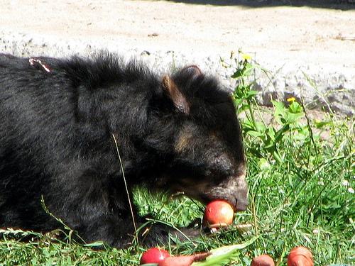 papaszemes-medvebocs