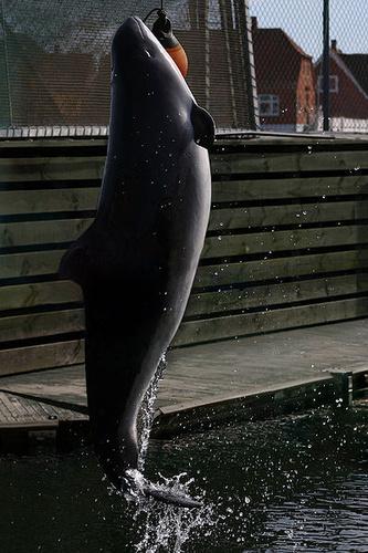 nagyemlos-barna-delfin