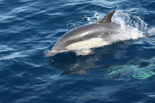 uszo-delfin