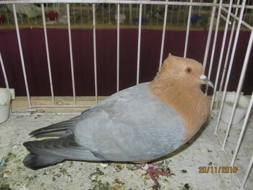 barnas-szurke-galamb