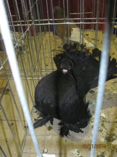 fekete-gatyas-galamb