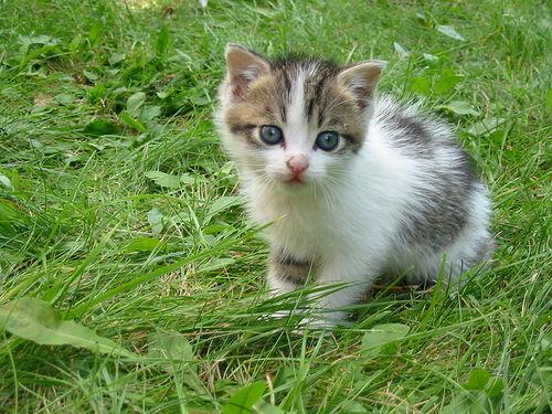 cica-nevek