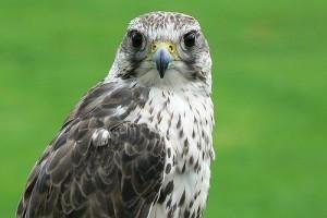 A sólyom (falco)