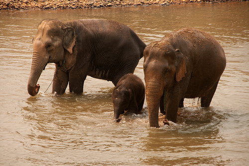 elefant-csalad