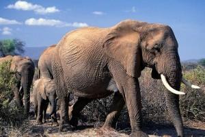 Az elefántok szaporodása