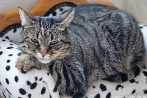 Túlsúlyos macska: így fogyaszthatod le a cicádat