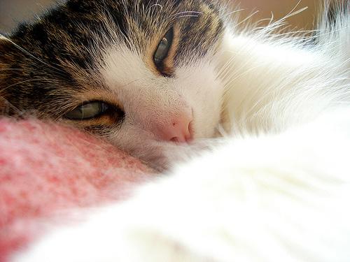 cicus-alszik