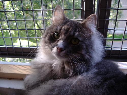 hosszu-szoru-cirmos-cica