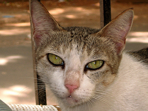 szep-kobor-cica