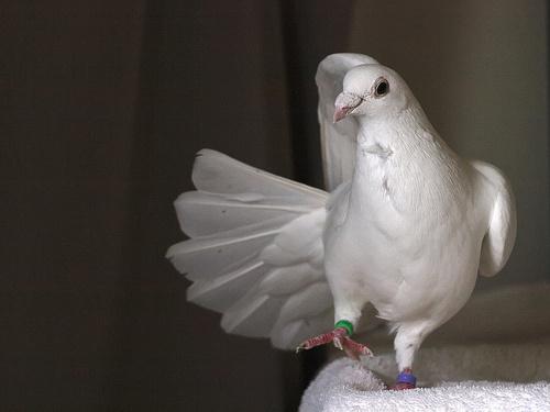 nyujtozkodo-galamb