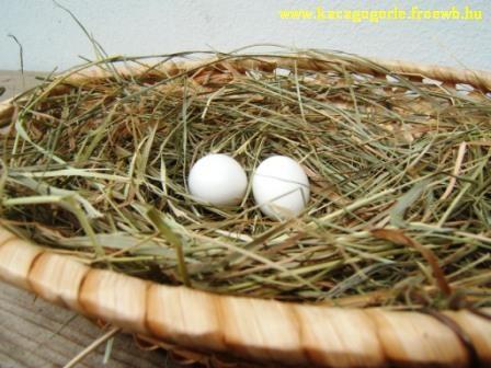 Kacagó gerle fészek 2 tojással