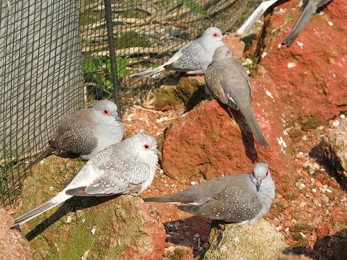 gyemant-galambok