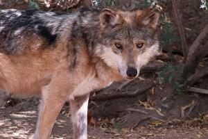 Ragadozó állatok: a mexikói farkas (Canis lupus baileyi)