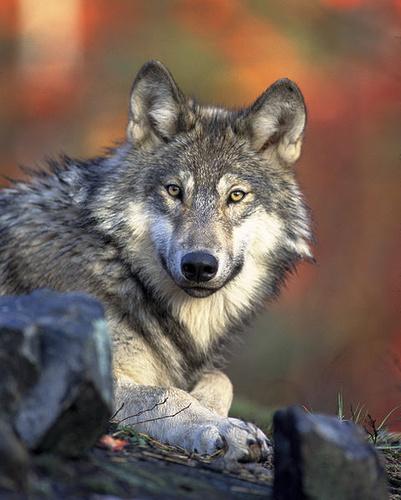 szurke-farkas