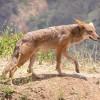 Ragadozók: a prérifarkas vagy kojot (Canis latrans)