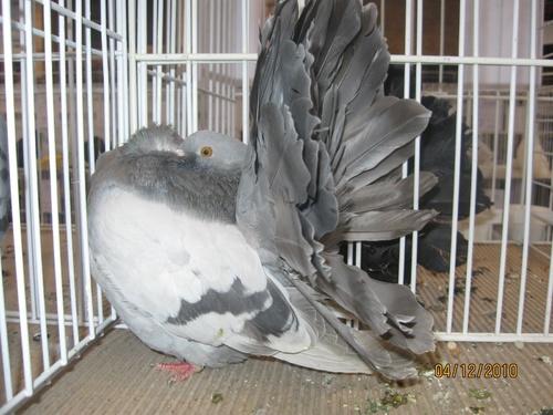 felfujt-galamb
