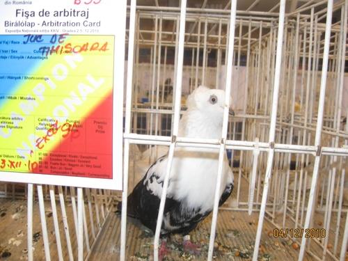 temesvari-galamb