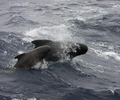 gombolyufeju-delfin