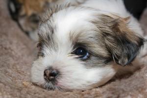 Kiskutyagyár -Miért nem alkalmas az állatbolt kutya vásárlásra?