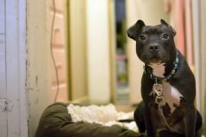 Házi megoldások a kutya fülfertőzésének megelőzésére