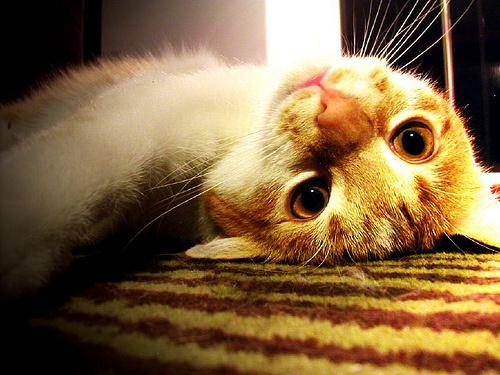 doglott-cica