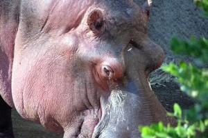 A víziló (Hippopotamus amphibius)