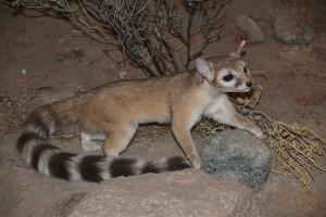 Észak-amerikai macskanyérc (Bassariscus astutus)